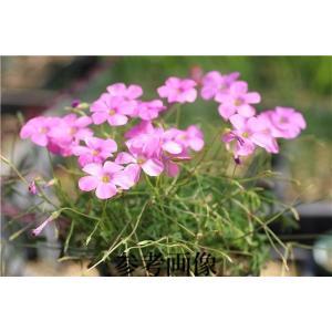 Oxalis stellata|ohgi-nursery