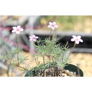 Oxalis engleriana|ohgi-nursery