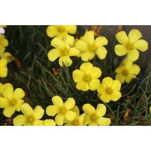 Oxalis flabellifolia|ohgi-nursery