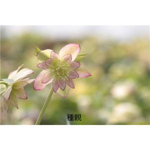 オーレア系ダブルレッド(種親)xオーレア系ダブル'イリュージョン'(花粉親)の交配苗|ohgi-nursery