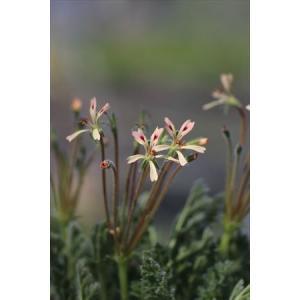 Pelargonium appendiculatum/ペラルゴニウム・アペンディクラツム|ohgi-nursery