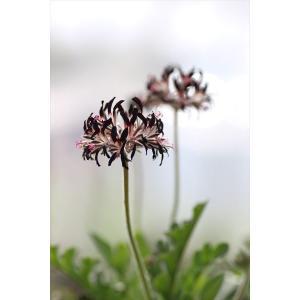 Pelargonium auritum/ペラルゴニウム・アウリツム|ohgi-nursery