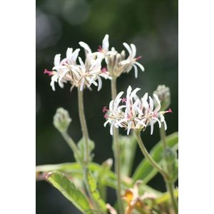 Pelargonium auritum var. carneum/ペラルゴニウム・アウリツム・カルネウム|ohgi-nursery
