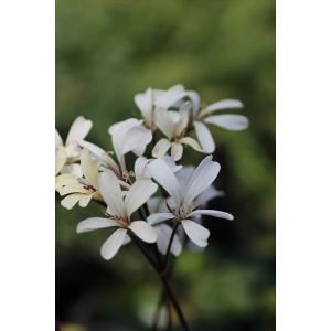 Pelargonium barklyi/ペラルゴニウム・バルクリ|ohgi-nursery