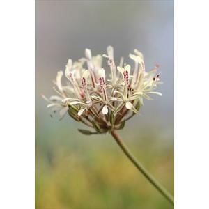 Pelargonium curviandrum/ペラルゴニウム・クルビアンドルム|ohgi-nursery