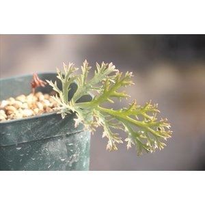 Pelargonium sp./ペラルゴニウム不明種|ohgi-nursery