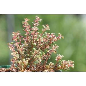 Pilea serpyllacea Globosa /ピレア・セルフィラセア・グロボサ|ohgi-nursery