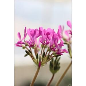 Pelargonium incrassatum/ペラルゴニウム・インクラサツム|ohgi-nursery