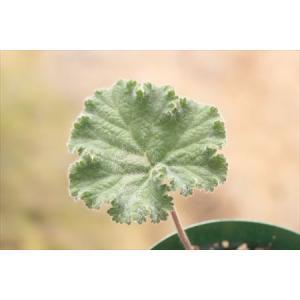Pelargonium lobatum form1/ペラルゴニウム・ロバーツム フォーム1|ohgi-nursery