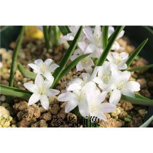 Polyxena longituba/ポリキセナ・ロンギチューバ|ohgi-nursery