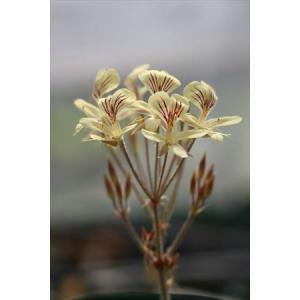 Pelargonium oblongatum/ペラルゴニウム・オブロンガツム|ohgi-nursery