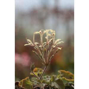 Pelargnium punctatum/ペラルゴニウム・プンクターツム|ohgi-nursery