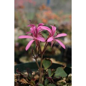 Pelargonium radiatum/ペラルゴニウム・ラディアツム|ohgi-nursery