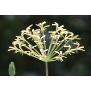 Pelargonium radicatum/ペラルゴニウム・ラディカツム|ohgi-nursery