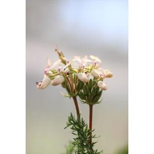 Pelargonium rapaceum/ペラルゴニウム・ラパセウム|ohgi-nursery