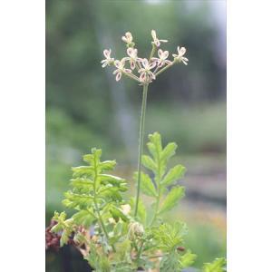 Pelargonium sp. S3239|ohgi-nursery