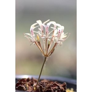 Pelargonium triandrum/ペラルゴニウム・トリアンドルム|ohgi-nursery
