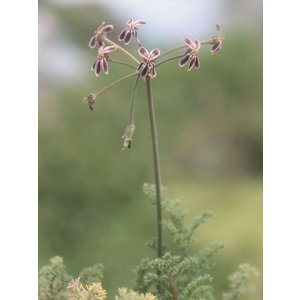 Pelargonium triste2/ペラルゴニウム・トリステ2|ohgi-nursery