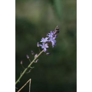 Scilla autumnalis/スキラ・アウツムナリス|ohgi-nursery