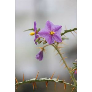 Solanum pyracanthum/ソラヌム・ピラカンスム|ohgi-nursery