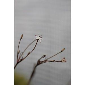 Strumaria discifera/ストルマリア・ディスキフェラ|ohgi-nursery