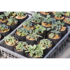 Helleborus occidentalis Germany(14.16)/ヘレボルス・オキシデンタリス ドイツ産(14.16)|ohgi-nursery