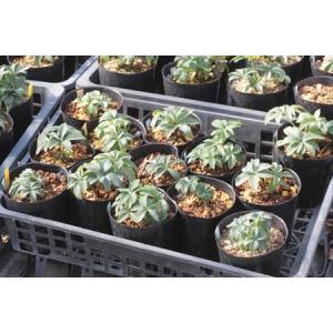 Helleborus occidentalis Spain Saya(14.15)/ヘレボルス・オキシデンタリス スペイン サヤ産(14.15)|ohgi-nursery