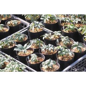 Helleborus occidentalis Spain Picos(14.14)/ヘレボルス・オキシデンタリス スペイン ピコス産(14.14)|ohgi-nursery