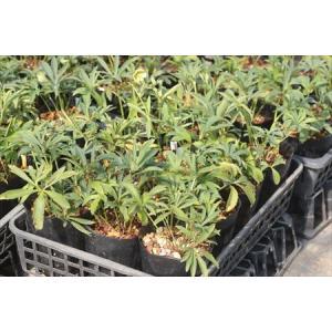 Helleborus bocconei Sicily(24.12)/ヘレボルス・ボッコネイ シチリア島産(24.12)|ohgi-nursery
