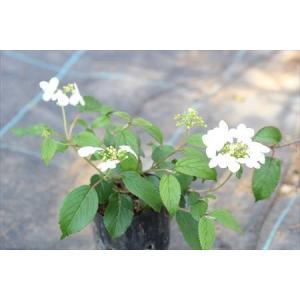 四季咲きヤブデマリ|ohgi-nursery