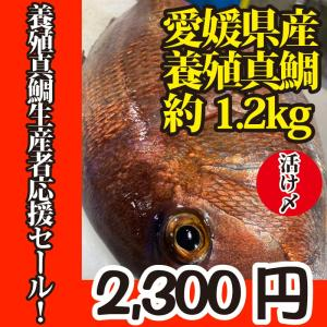 活〆 真鯛 1枚 約1.2kg(愛媛県産 養殖)