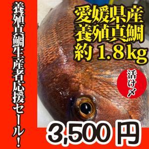 活〆 真鯛 1枚 約1.8kg(愛媛県産 養殖)