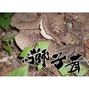 天然キノコ (天然きのこ 国産) 香茸(シシタケ・こうたけ・香たけ・いのはな) 秋の味覚 150g 送料無料 松茸/まいたけ  だけがキノコじゃない ギフト対応
