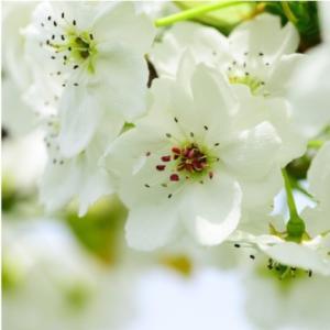 おもてなしギフト 市川梨 200年の梨作りのヤマニ果樹農園の育てた市川の梨 豊水 3kg(6〜8個入り)|omotenashigift|05
