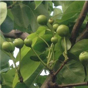 おもてなしギフト 市川梨 200年の梨作りのヤマニ果樹農園の育てた市川の梨 豊水 3kg(6〜8個入り)|omotenashigift|06