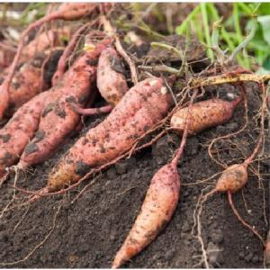 おもてなしギフト 野菜セット 鎌倉青果市場からその日の野菜をお届け 鎌倉いちばブランド野菜セット|omotenashigift|05