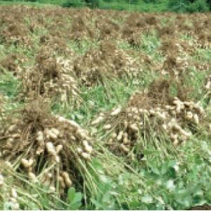 おもてなしギフト 千葉名産品の半立種のから付落花生 天日乾燥したました 千葉とみいの落花生(300g×2袋)|omotenashigift|04