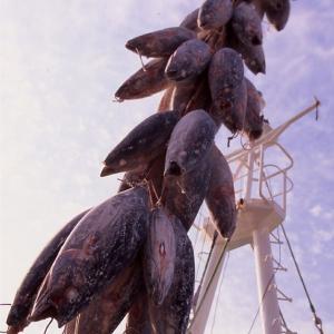 おもてなしギフト 三崎マグロ 天然メバチ鮪(中トロ2柵)セット:03|omotenashigift|02