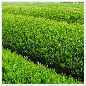 【Aloha Ken's Tea】掛川産深蒸し茶 ティーパック 3g×15包 1080円|omuraen|04