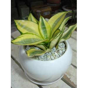 【ミニ観葉植物】サンスベリア ゴールデンハニー【受け皿付き・陶器鉢】シンプルタイプ