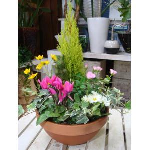季節の寄せ植え♪コニファーゴールドクレスト コンテナガーデンを楽しみたいお客様にも♪おまかせピック付き♪S-サイズ