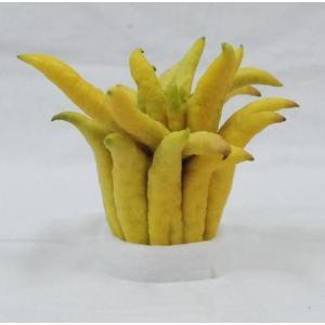 仏手柑 (ぶっしゅかん・ブシュカン) 中サイズ 《ミカン・みかんの仲間で甘く濃厚な香りがします。》 九州・唐津の柑橘系 ootsuru