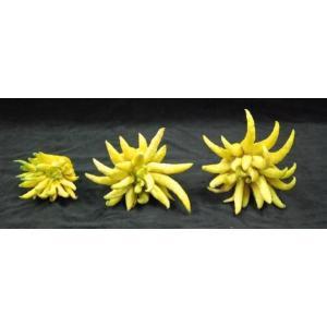 仏手柑 (ぶっしゅかん・ブシュカン) 3点セット 《ミカンの・みかん仲間で甘く濃厚な香りがします。》 九州・唐津の柑橘系 ootsuru