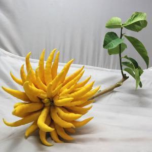 仏手柑 (ぶっしゅかん・ブシュカン) 枝付き中サイズ 《ミカン・みかんの仲間で甘く濃厚な香りがします。》 九州・唐津の柑橘系 ootsuru