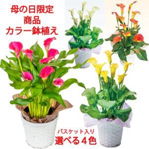 【母の日 対応商品】 志木フラワーのカラー5号鉢植え (3色から選べる) (毎年咲きます) オランダ屋|orandaya4