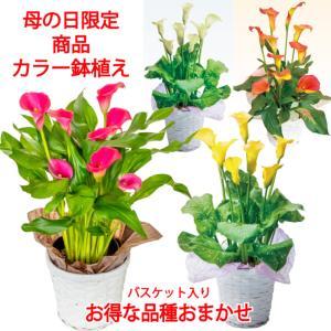【母の日 対応商品】 志木フラワーのカラー5号鉢植え (2色からおまかせ) (毎年咲きます) オランダ屋|orandaya4