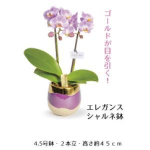 【母の日 対応商品】 胡蝶蘭 エレガンスシャルネ鉢 オランダ屋|orandaya4