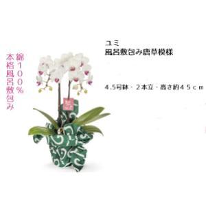 【母の日 対応商品】 胡蝶蘭 ユミ風呂敷包み唐草模様 オランダ屋|orandaya4