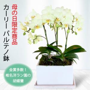 【母の日 対応商品】  胡蝶蘭 リンリン パルテノ鉢オランダ屋|orandaya4