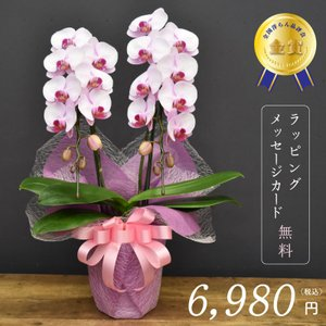 胡蝶蘭彩2本立ち【誕生日、敬老の日ギフトにも最適】|orchid-house